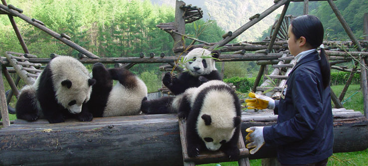 A researcher works with young pandas.